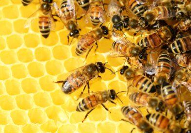 Le api: una risorsa per l'uomo